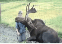 Good, Dog, and Moose: can a moose be a good dog?