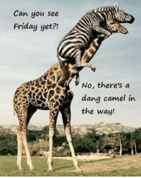 Friday, It's Friday, and Memes: Can you see  Friday yet?!  No, there's a  the way! greatmorningworld Tell That Camel Move Over Because Its Friday Eve!!! We're Almost There!!!