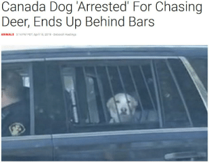 Animals, Deer, and Canada: Canada Dog 'Arrested' For Chasing  Deer, Ends Up Behind Bars  ANIMALS 3:14 PM PDT, April 16, 2018 - Deborah Hastings woof_irl