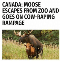 Canada, MeIRL, and Moose: CANADA: MOOSE  ESCAPES FROM ZO0 AND  GOES ON COW-RAPING  RAMPAGE Meirl