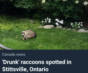 Drunk, News, and Canada: Canada news  'Drunk' raccoons spotted in  Stittsville, Ontario me_irl