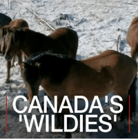 Horses, Memes, and Canada: CANADA'S  WILDIES 28 JUL: After years of Alberta's wild horses being captured and culled to manage their population, a team of volunteers is taking a different approach. Watch more: bbc.in-wildies Canada Alberta WildHorse Horse Biodiversity Population Wildlife Wildies BBCShorts BBCNews @BBCNews Horse footage courtesy of Bruce Stover