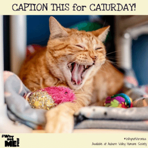 "Caption This for #Caturday! Want to find out more about the 3 yr. old, spirited, ginger purrpants kitty, Queen Veronica? Reach out to Auburn Valley Humane Society, where she's being cared for while she awaits her purrfect home! #WhynotVeronica  #WhynotMEpets Dirtie Dog Photography Pet Connection Magazine Healthy Paws Pet Insurance: CAPTION THIS for CATURDAY!  #whY  ""WhynotVeronica  Available at Auburn Valley Humane Society Caption This for #Caturday! Want to find out more about the 3 yr. old, spirited, ginger purrpants kitty, Queen Veronica? Reach out to Auburn Valley Humane Society, where she's being cared for while she awaits her purrfect home! #WhynotVeronica  #WhynotMEpets Dirtie Dog Photography Pet Connection Magazine Healthy Paws Pet Insurance"