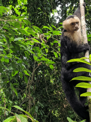 Costa Rica, Monkey, and Costa: Captured this capuchin monkey in Costa Rica checking us out