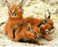 Caracal kittens. They look amazing: Caracal kittens. They look amazing