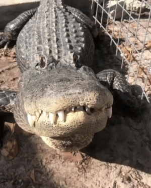 carnival-phantasm:  kidzbopdeathgrips:   earthstory:  natures VOLUME UP 🔊 Alligators  are extremely vocal animals, making loud grunts called bellows  year-round, but especially around their mating season.🐊 Follow @roam for more!👈   why the FUCK is this dude putting has hand anywhere near that thing   Big fat leather sausage dogs need love too, you fool : carnival-phantasm:  kidzbopdeathgrips:   earthstory:  natures VOLUME UP 🔊 Alligators  are extremely vocal animals, making loud grunts called bellows  year-round, but especially around their mating season.🐊 Follow @roam for more!👈   why the FUCK is this dude putting has hand anywhere near that thing   Big fat leather sausage dogs need love too, you fool