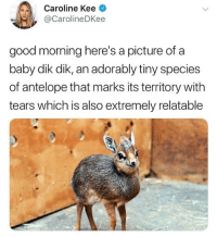Cute: Caroline Kee  @CarolineDKee  good morning here's a picture of a  baby dik dik, an adorably tiny species  of antelope that marks its territory with  tears which is also extremely relatable Cute