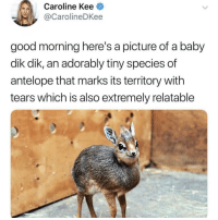 Memes, Omg, and Twitter: Caroline Kee  @CarolineDKee  good morning here's a picture of a baby  dik dik, an adorably tiny species of  antelope that marks its territory with  tears which is also extremely relatable omg 😭😭😭 (@carolinedkee on Twitter)