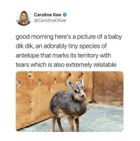 Good Morning, Good, and Relatable: Caroline Kee  @CarolineDKee  good morning here's a picture of a baby  dik dik, an adorably tiny species of  antelope that marks its territory with  tears which is also extremely relatable