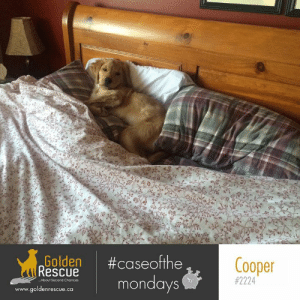 Good morning, Monday! ☀️ Here's hoping your week is #Golden.  #caseofthemondays #goldenretriever:  #caseofthe  mondays  Golden  Rescue  Cooper  #2224  ..About Second Chances  www.goldenrescue.ca Good morning, Monday! ☀️ Here's hoping your week is #Golden.  #caseofthemondays #goldenretriever