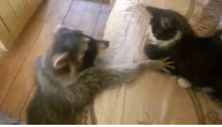 Memes, Best Of, and 🤖: Cat and racoon, best of friends! (via: @Viralhog)