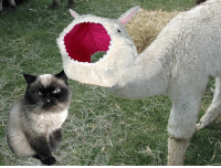 Cat balls now come with Asher the Wonder Llama's brain... notice it's empty. #creativecatball #thecatball #catsvsllamas: Cat balls now come with Asher the Wonder Llama's brain... notice it's empty. #creativecatball #thecatball #catsvsllamas