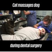 Animals, Dank, and 🤖: Cat massagesdog  during dental surgery What did we do to deserve animals? 😭❤️️