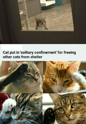 A small price to pay for salvation: Cat put in 'solitary confinement' for freeing  other cats from shelter A small price to pay for salvation