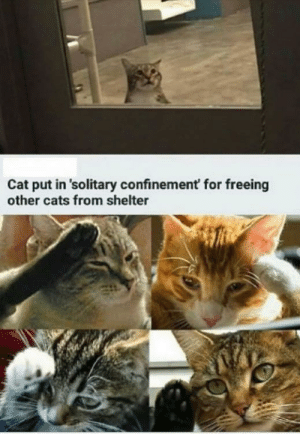 Respect: Cat put in 'solitary confinement for freeing  other cats from shelter Respect