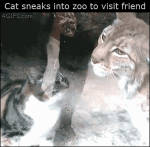 Gif, Tumblr, and Blog: Cat sneaks into zoo to visit friend  4GIFs.com alsogolden-ana:  itsmyspookyhour: thecarvingwitch:  prokopetz:  sixsaltysweets:  I'M DEAD  Fun fact: if you know your feline body language, you'll notice that the lynx is deferring to the housecat. As far as these two are concerned, the housecat is the higher-ranking cat.  OH MY GOSH   It's because the cat is that lynx's mom