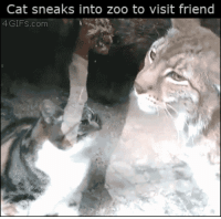 God, Oh My God, and Target: Cat sneaks into zoo to visit friend  4GIFs.com thecarvingwitch:  prokopetz:  sixsaltysweets:  I'M DEAD  Fun fact: if you know your feline body language, you'll notice that the lynx is deferring to the housecat. As far as these two are concerned, the housecat is the higher-ranking cat.  OH MY GOD