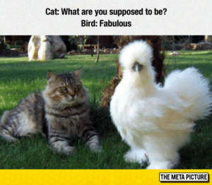 Tumblr, Blog, and Cat: Cat: What are you supposed to be?  Bird: Fabulous  THE META PICTURE lolzandtrollz:The Fluffiest Bird