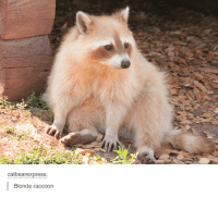 Raccoon: Catbearexpress:  Blonde raccoon