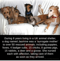 Animals, Anime, and Deer: CATERS NEWS AGENCY LTD  During 8 years living in a UK animal shelter,  a dog named Jasmine was a 'surrogate mother'  to over 50 rescued animals, including puppies,  foxes, 4 badger cubs, 15 chicks, 8 guinea pigs,  15 rabbits, a deer and a goose. She nursed  each with affection, taking care of them  as soon as they arrived.  fb.com/factsweird