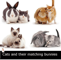 Bunnies, Memes, and Match: Cats and their matching bunnies