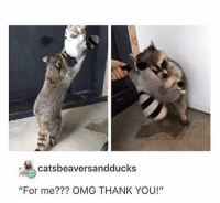 "Omg, Thank You, and Raccoon: catsbeaversandducks  ""For me??? OMG THANK YOU!"" The raccoon loves his stuffed raccoon 3"