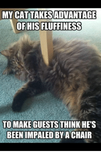 Impals: CATTAKESADVANTAGE  OF HIS FLUFFINESS  TO MAKE GUESTS THINK HE'S  BEEN IMPALED BY ACHAIR