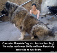 I think he would make a great counterpart to my Chihuahua.: Caucasian Mountain Dog (aka Russian Bear Dog)  The males reach over 200lb and have historically  been used to hunt bears.  memmes.COM I think he would make a great counterpart to my Chihuahua.