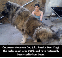 Bear, Bears, and Caucasian: Caucasian Mountain Dog (aka Russian Bear Dog).  The males reach over 200lb and have historically  been used to hunt bears