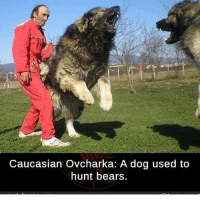 Caucasian Ovcharka: A dog used to  hunt bears In America bears eat dog but in Soviet Russia dog eats bears