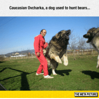 "Tumblr, Bears, and Blog: Caucasian Ovcharka, a dog used to hunt bears..  THE META PICTURE <p><a href=""https://epicjohndoe.tumblr.com/post/175504377329/caucasian-ovcharka"" class=""tumblr_blog"">epicjohndoe</a>:</p>  <blockquote><p>Caucasian Ovcharka</p></blockquote>"