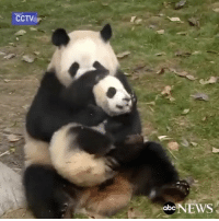 """Memes, Abc News, and 🤖: CCTV  abc  NEWS Repost @abcnews: """"Giant panda Yali tries to play with one of her twins at the Chengdu Research Base in China but the 8-month-old panda keeps trying to run away. China Panda 😂 WSHH"""