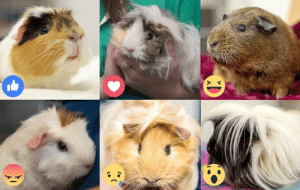 Alive, Cute, and Love: CD It's July 16th today, so you know what that means.... Happy guinea pig appreciation day! Don't worry, we won't hold it against you if you didn't realise it was one of the best days of the year 😉 React below which one of our past rescue guinea pigs is your favourite!   To keep the love of guinea pigs alive, Guinea Pig Appreciation Day celebrates everything that we love about these little critters and celebrates just what it is that makes them great pets. They're soft, cute and generally have an easy-going demeanour. They make great first pets for kids and wonderful, manageable pets for the slightly busier adults! If you're looking for a cuddly companion you can't go wrong 🐹  Remember – if you do decide to adopt a guinea pig, they will need your love and care for a few years. These hardy creatures live on average between 5 and 8 years. The oldest piggie on record, named Snowball, died in 1979 at the grand old age of 15!  Have you adopted one of our guinea pigs? We would love to hear how they're going! Either comment below or email marketing@rspcasa.org.au with some pictures and an update 💕🐾