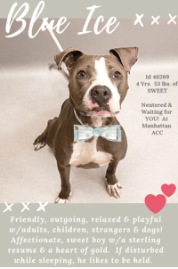 "Being Alone, Animals, and Bad: Ce xxx  Id 46269  4 Yrs. 53 lbs. of  SWEET  Neutered &  Waiting for  YOU! At  Manhattan  ACC  Friendly, outgoing, relaxed & playful  w/adults, children, strangers& dogs!  Affectionate, sweet boy w/a sterling  resume & a heart of gold. If disturbed  while sleeping, he likes to be held. *** TO BE KILLED – 11/10/2018 ***  ""If you disturb him when he is sleeping, he likes to be held…""   One of the more heartwrenching things an owner has said as they dump their dog at the ACC. BLUE ICE is young, he's joyful, he has only known the love of his family since he was a puppy – 4 long years ago. He was abandoned by them with glowing notes after they decided to move to an apartment where he was not welcome. If there was one thing MLD would like to do, it is to stop the Behavior Department at the ACC from labelling dogs who are anxious and alone as ""New Hope Only"" when clearly the behavior they are displaying after only 2 days at the shelter is NOT who these dogs are when they are out of those scary hellholes and enveloped in the love of a family home. In Blue's case, biting the leash because he 1) is anxious, 2) is kept in a small cage almost 24 hours of every day and so over-excited, and 3) is bereft of his family and going overboard trying to please these new strangers who are the only reality for him now. Let's be clear – BLUE ICE IS A GREAT DOG! HE'S A GEM! He played happily and respectfully with a newborn child through to her turning 3 years of age, he adored a teenager, and he is friendly and outgoing with strangers – giving them hugs and kisses. He even licked the counselors on intake and was super social during his safer! In fact, the medical team noted ""Very friendly, wagging his tail the entire time, loves treats, gets excited with treats and takes them over enthusiastically so just need to hold them out with your hand flat, no bad intentions though!"" Yes, he is outgoing, energetic, and he loves to run and play! He adores toys and he doesn't have a single behavior issue to speak of and his resume is absolutely sterling! He is biting the leash at the shelter due to his loneliness, his anxiety at losing his family, and his sadness and it will resolve once he is back in a home. Don't let this sweetheart of a dog die. PLEASE step up to foster or adopt Blue. Unbelievably, and sadly, he must got to an adult only home (kids over age 13 ok) despite how great he was as a nanny to a newborn. (sigh) Please hurry and MESSAGE our page or email us at MustLoveDogsNYC@gmail.com for assistance. Blue Ice deserves a life…seriously.  BLUE ICE, ID 46269 @ 4 Yrs. Old, 53.4 lbs. Manhattan ACC, Large Mixed Breed, Gray / White, Neutered Male Owner Surrender Reason: Moving to No Pets Housing Shelter Assessment Rating: New Hope Rescue Only Intake Behavior Rating: 1. Green  AT RISK MEMO: October was diagnosed with canine infectious respiratory disease complex which will require rest and in home care. Behaviorally he has displayed a low threshold for arousal that may be beginning to tip into aggression. Guidance from a professional positive reinforcement, force free trainer is recommended to work on this behavior and prevent further escalation. We recommend New Hope placement.  INTAKE NOTE – DATE OF INTAKE 11/02/2018: Upon intake, Blue had a loose body and displayed a wagging tail. His ears were perked up and he would jump up to the desk and look at counselors. When approached he jumped up to greet counselors and began to lick my hand. He was barking at people passing by the care center. When leashing him, he began to bite the leash and chew on it. He would turn his neck to grab the leash. He allowed me to collar him and place him inside of a kennel. Allowed all handling.  SURRENDER NOTES – BASIC INFORMATION: Blue is a 4 year old (approx.) male neutered gray and white large mixed breed dog. Previous owner got Blue from a friend and has had him ever since he was a puppy. Blue was surrendered to ACC today because of the owners landlord issues. Blue previously lived with 2 adults and 2 children. Around strangers, Blue is friendly and outgoing. He normally jumps up and greets strangers with licks. Blue lived with a 16 year old child and a newborn child up until they were 3 years old. He is friendly, respectful and playful with these children. Blue has been around dogs when he is out for walks but does not pay attention to other dogs. Blue has been around other cats in the street and will bark at them. Blue is not bothered if his food bowl, toys or treats are touched while he is using them. he will bark if someone unfamiliar approaches the home. Blue has not bitten another person or animal before. He is housetrained. He has a very high energy level – friendly, affectionate, playful and excitable. If he is disturbed while sleeping, he enjoys being held. He has a medical issue – Blue has a testicle that has not descended. He was neutered last year and received his vaccinations.  For a New Family to Know: Blue is a very high energy, friendly, affectionate, playful and excitable dog. Previous owners favorite thing about Blue is that he has a lot of energy and loves to run. Blue will follow you around in the home. He enjoys playing with balls, squeaky toys and chew bones. He has been kept indoors only but taken outdoor for walks. Blue sleeps in his own area and eats both wet and dry food. Blue is house trained and will go on wee wee pads. He knows how to sit stay and come. He likes slow and fast walks on the leash. He pulls very hard at times when hes excited. If left off the leash he will wander but come over when called.  SHELTER ASSESSMENT – DATE OF ASSESSMENT: 11/4/2018  Look:: 1. Dog leans forward or jumps up to lick the Assessor's face with tail wagging, ears back and eyes averted.  Sensitivity:: 2. Dog displays high energy and movement, but it is directed toward getting closer to the Assessor. Body is soft, likely panting, may jump up between attempts to lick Assessor.  Tag:: 1. Dog assumes play position and joins the game. Or dog indicates play with huffing, soft 'popping' of the body, etc. Dog might jump on Assessor once play begins.  Paw squeeze 1:: 2. Dog quickly pulls back. Paw squeeze 2:: 2. Dog quickly pull back.  Flank squeeze 1:: Item not conducted Flank squeeze 2:: Item not conducted  Toy:: 1. Dog settles close, keeps a firm grip and is loose and wiggly. Dog does not place his/her body between you and the toy.  Summary:: Blue Ice quickly approached the assessor with a soft body and jumped up in a social manner. He jumped up several times during the assessment and was mouthy, applying light pressure. He was social throughout and allowed all handling.  PLAYGROUP NOTES – DOG TO DOG SUMMARIES: The previous owner of Blue Ice cites that he would ignore other dogs on outside walks, with no other information provided about behavior around animals. In the care center, Blue Ice has only displayed brief interest in play, while at other times displaying minimal interest. Blue Ice should be allowed a period of decompression before immediate introduction to unfamiliar dogs. Slow introductions are recommended to tolerant, respectful dogs.  Summary (1):: 11/3: When off leash with the female greeter dog, Blue Ice greets politely and engages in bouncy play.  Summary (2):: 11/4: Blue Ice greets politely. When not engaged with the helper dog, Blue Ice approaches and seeks handler attention.  Summary (3):: 11/6: Blue Ice is a bit tense and keeps to himself.  INTAKE BEHAVIOR - Date of intake:: 11/2/2018. Summary:: Loose body, barking, grabbed leash in mouth.  ENERGY LEVEL:: Blue Ice is described as having a very high level of activity. He is a young, enthusiastic, social dog who will need daily mental and physical activity to keep him engaged and exercised. We recommend long-lasting chews, food puzzles, and hide-and-seek games, in additional to physical exercise, to positively direct his energy and enthusiasm.  IN SHELTER OBSERVATIONS:: 11/7/18: While outside with Blue Ice, he repeatedly grabs the leash in his mouth and jumps up on handlers, hard barking. This behavior is able to be diverted using treats, but when an attempt is made to leash him he resumes this.   BEHAVIOR DETERMINATION:: NEW HOPE ONLY Behavior Asilomar: TM - Treatable-Manageable  Recommendations:: No children (under 13),Place with a New Hope partner Recommendations comments:: No young children: Due to the high level of jumping, leash biting, and mouthing seen at the care center, we recommend an adult only home. Place with a New Hope partner: Blue Ice has displayed a low threshold for arousal at the care center with a potential to tip into aggression (hard barking at handlers). The behavior department recommends Blue Ice be placed with a New Hope placement partner who is able to provide an experienced adult-only foster home. A period of decompression is recommended to allow Blue Ice to acclimate comfortably to his new environment; force-free, reward based training only is advised when introducing Blue Ice to new and unfamiliar situations. Consultation with a professional trainer/behaviorist is highly recommended for guidance to safely manage/modify any behavior Blue Ice presents with outside of the care centers.  Potential challenges: : Low threshold for arousal,Basic manners/poor impulse control,Mouthiness/poor bite inhibition,Leash-biting Potential challenges comments:: Basic manners/poor impulse control: It is recommended that default behaviors such as ""Leave it"", ""Sit/Stay"", ""Down"" are reinforced to substitute any frustration and teach him to control his impulses instead of simply reacting; proper management is also advised. Force-free, reward based training only is recommended. Mouthiness/poor bite inhibition: Blue Ice has shown some mouthiness in the care center. Little pressure is applied, but this is a behavior that should be extinguished through training alternate behaviors and lack of reward (ex. walking away whenever Blue Ice's teeth make contact with skin). Leash-biting: Blue Ice is quick to grab the leash in his mouth. We recommend walking him with a toy to dissuade him from grabbing the leash. Positive reinforcement, force-free training is advised to teach him to focus on you rather than grabbing the leash. Low threshold for arousal: Blue Ice has displayed a low threshold for arousal at the care center, repeatedly jumping up to grab the leash and hard barking at handlers. He appears to have a low threshold for arousal that may be beginning to tip into aggression. Guidance from a professional positive reinforcement, force free trainer is recommended to work on this behavior and prevent further escalation.   MEDICAL NOTES:   8/11/2018  SO BAR, barking at kennel front. EN -- sniffling, serous nasal discharge during rounds observation. No coughing. A CIRDC P doxycycline 100mg tablet -- give 2.5 tablets PO q24h x 14 days enrofloxacin 136mg tablet -- give 2 tablets PO q24h x 14 days cerenia 60mg tablet -- give 0.5 tablet PO q24h x 4 days   8/11/2018  [DVM Intake] DVM Intake Exam Estimated age: 4 years Microchip noted on Intake? Yes Microchip Number (If Applicable): 985112004137358 History : Subjective: Observed Behavior -BAR Evidence of Cruelty seen -Very friendly, wagging his tail the entire time, loves treats, gets excited with treats and takes them over enthusiastically so just need to hold them out with your hand flat, no bad intentions though Evidence of Trauma seen - No Objective T = P =120 R =eup BCS 5/9 EENT: Eyes clear, ears clean, mild bilateral nasal discharge Oral Exam: nsf PLN: No enlargements noted H/L: NSR, NMA, CRT < 2, Lungs clear, eupnic, no active c/s ABD: Non painful, no masses palpated U/G: M/N MSI: Ambulatory x 4, skin free of parasites, 1 cm ulcerated mass lateral RHL on tarsus CNS: Mentation appropriate - no signs of neurologic abnormalities Rectal: Clean externally Assessment: Mass RHL-r/o cyst vs. other benign vs. malignant Hx of CIRDC Prognosis: Good Plan: Continue with current tx plan Recommend cytology vs. mass removal for biopsy once placed SURGERY: Already neutered  *** TO FOSTER OR ADOPT ***   BLUE ICE IS RESCUE ONLY. You must fill out applications with New Hope Rescues to foster or adopt him. He cannot be reserved online at the ACC ARL, nor can he be direct adopted at the shelter. PLEASE HURRY AND MESSAGE OUR PAGE FOR ASSISTANCE!   HOW TO RESERVE A ""TO BE KILLED"" DOG ONLINE (only for those who can get to the shelter IN PERSON to complete the adoption process, and only for the dogs on the list NOT marked New Hope Rescue Only). Follow our Step by Step directions below!   *PLEASE NOTE – YOU MUST USE A PC OR TABLET – PHONE RESERVES WILL NOT WORK! **   STEP 1: CLICK ON THIS RESERVE LINK: https://newhope.shelterbuddy.com/Animal/List  Step 2: Go to the red menu button on the top right corner, click register and fill in your info.   Step 3: Go to your email and verify account  \ Step 4: Go back to the website, click the menu button and view available dogs   Step 5: Scroll to the animal you are interested and click reserve   STEP 6 ( MOST IMPORTANT STEP ): GO TO THE MENU AGAIN AND VIEW YOUR CART. THE ANIMAL SHOULD NOW BE IN YOUR CART!  Step 7: Fill in your credit card info and complete transaction   HOW TO FOSTER OR ADOPT IF YOU *CANNOT* GET TO THE SHELTER IN PERSON, OR IF THE DOG IS NEW HOPE RESCUE ONLY!   You must live within 3 – 4 hours of NY, NJ, PA, CT, RI, DE, MD, MA, NH, VT, ME or Norther VA.   Please PM our page for assistance. You will need to fill out applications with a New Hope Rescue Partner to foster or adopt a dog on the To Be Killed list, including those labelled Rescue Only. Hurry please, time is short, and the Rescues need time to process the applications."