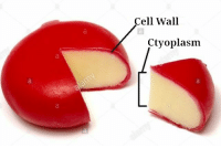 Cell,  Wall, and Cell Wall: Cell Wall  Ctyoplasm