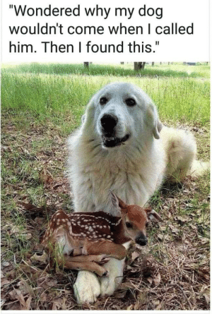 """celtic-pyro:  theflashisgone: This looks like a great Pyrenees, a breed of livestock guardian dog, so he's literally doing what he was bred for by protecting a baby ruminant. Finally seeing a dog experience the """"I can't get up because my pet is laying in my lap"""" problem. : celtic-pyro:  theflashisgone: This looks like a great Pyrenees, a breed of livestock guardian dog, so he's literally doing what he was bred for by protecting a baby ruminant. Finally seeing a dog experience the """"I can't get up because my pet is laying in my lap"""" problem."""