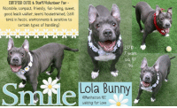 Andrew Bogut, Dogs, and Head: CERTIFIED CUTIE & Staff/Volunteer Fav  Adorable, conpact, friendly, fun-loving, sleet,  good leash walker, seems housetrained, (still  tinid in hectic environments & sensitive to  certain types of handling)  23710  7 years  bs  Lola Bunny  Manhattan ACU  waiting for Love <3 LOLA BUNNY <3 A volunteer writes: Springtime is finally here, and little Lola Bunny can't wait to hop her way into the sunshine and into your heart. If her adorable 'Pocket Pittie' looks don't get you, her fun-loving personality will! This sweet former wallflower was very shy when she first arrived, but quickly blossomed into a happy, playful gal who has volunteers and staff all raving about what a joy it is to be loved by her. Middle age doesn't mean a thing to Lola Bunny. She's just as bright-eyed and waggy-tailed as a puppy. Fetch is her game of choice, and she rocks it like a pro, waiting politely for a throw, then instantly dropping the ball on her return so I can grab and toss it over and over and over again. Lola is tireless in her pursuit of happiness, and when the time comes to pick up the leash and head back inside, she gives me a pleading look that speaks loud and clear: 'But Moooom, I'm not done playing yet!' She walks calmly on leash, seems to be house trained, and passes other dogs with ease. Much as she'd rather stay out with me, she hops easily back into her kennel and settles quietly on her bed to await her next playdate. Lola's still timid in hectic environments and very sensitive to certain types of handling, so a new home with plenty of toys and games but no grabby little kids would suit her best. Tiny in size but mighty of heart, Lola Bunny is waiting at our Manhattan Care Center for her new BFF and tennis ball pitcher. Get your application in today!  LOLA BUNNY@MANHATTAN ACC Lola Bunny ID# 23710  Sex: Female Age: 7 years old Is Vaccinated: Yes Primary Color: Gray Secondary Color: White Weight: 47.2 lbs. Intake Date: 03-26-2018 My health has been