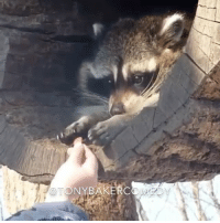 CoCo, Memes, and Raccoon: CETONYBAKERCOME Tony Baker as CoCo the raccoon gettin in on a morsel. TonyBakerVoiceovers. @cocotheraccoon