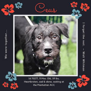 """Being Alone, Bad, and Cats: Ceus  Id 70277, 11 Mos. Old, 59 lbs,  Heartbroken, sad & alone, waiting at  the Manhattan ACC  I forget the rest  Walt Whitman.  We were together.... TO BE KILLED – 8/15/2019  """"We were together.  I forget the rest…""""  -- Walt Whitman  He is only 11 months old, a puppy who one day was surrounded by the love of a family and 3 children he adored, and then the next day he was abandoned at the shelter, bereft of everything he held dear.  Now he is alone, lonely, confused and frightened, and who could blame him?  He has only known family life, since he was a tiny mite, and to be thrown into the shelter system surrounded by barking, crying dogs like him who also miss their families.  His heart is broken and he doesn't know who to trust.  In the darkness of his kennel he thinks only of the life he lost, and searches every face hoping that they will return and that this is just a bad dream.  After all, he was a perfectly behaved pup with a sterling resume of skills.  He loved to play fetch, he bounced around with the kids, relaxed and happy and full of joy just like all puppies.  And like all puppies, he lived to follow his family around and just be near them.  Surrounded by toys, cuddled and adored, he never thought it would end.  But it did.  And now he will die.  All because of a landlord who said """"no pets.""""  Won't you give this poor kid a home?  Foster or adopt him now.  Due to his anxiety and fear in the shelter, he must go to an experienced foster or adopter in an adult only home (no kids under Age 13).  Hurry and message our page or email us at MustLoveDogsNYC@gmail.com for assistance fostering or adopting Ceus.  CEUS, ID# 70277, 11 Mos. old, 59.6 lbs., Unaltered Male Manhattan ACC, Large Mixed Breed, Black / White Owner Surrender Reason:  Landlord won't allow   Shelter Assessment Rating:    New Hope Rescue Only Medical Behavior Rating:   3. Yellow    AT RISK MEMO:  Ceus has remained fearful at the care center and has exhibited touch sensiti"""