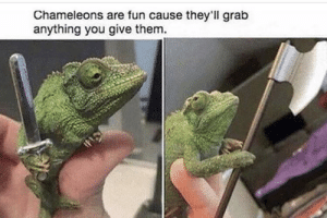 Me irl: Chameleons are fun cause they'll grab  anything you give them. Me irl
