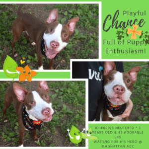 "Being Alone, Apparently, and Bones: Chapre  Playful  nLe  Full of Pupp  Enthusiasm!  ID #66975 NEUTERED 3  OYEARS OLD & 43 ADORABLE  LBS  WAITING FOR HIS HERO  MANHATTAN ACC TO BE KILLED AUGUST 20, 2019  CHANCE IS A DELIGHT! READ THE VOLUNTEER NOTES AND WATCH HIS VIDEO! HE JUST WANTS TO PLAY WITH EVERYONE AND EVERYTHING. SO PLEASE CONSIDER OPENING YOUR HOME AND YOUR HEART and TAKE A CHANCE ON CHANCE! <3  A Volunteer Wrote: Get your puppy love on! We may moan about human males who act younger than their age, but we're loving that quality in the enchanting Chance, a young male dog still filled with puppy enthusiasm. That isn't code for anything but DELIGHTFUL! He wants to run, he wants to kiss, he wants to play with everyone and everything he sees. He brings smiles to all he meets and passes, and much to his delight, everyone wants to play with him as much as he wants to play. He appears house trained, and he is for sure, without question, ready for a good time. Chance is sure love!  Chance id #66975 Neutered male brown dog @ Manhattan Animal Care Center About 3 years 1 months 3 weeks old Weight: 42.8 lbs Returned on 8/11/2019.  Sorry, this pet is for new hope partners only.  Chance is at risk for behavioral reasons. Chance has displayed a low threshold for arousal and is easily overstimulated. Chance has also shown some dog reactivity and would be best suited for placement with a new hope partner that can provide the necessary behavior modification. Medically, Chance seems healthy.  You may know me from such films as... https://youtu.be/aVa-zgkZZ7I  Let's get to know each other a bit more... A Volunteer Wrote: Get your puppy love on! We may moan about human males who act younger than their age, but we're loving that quality in the enchanting Chance, a young male dog still filled with puppy enthusiasm. That isn't code for anything but DELIGHTFUL! He wants to run, he wants to kiss, he wants to play with everyone and everything he sees. He brings smiles to all he meets and passes, and much to his delight, everyone wants to play with him as much as he wants to play. He appears house trained, and he is for sure, without question, ready for a good time. Chance is sure love!  My medical notes are... Post Surgery Note 6/28/2019  ASPCA DOG neuter Pre-surgical exam, anesthesia, and surgery performed by ASPCA.  Green linear tattoo placed lateral to incision.  Start on 1 tablet of rimadyl 75 mg for 2 day. For pain management.  Weight: 42.8 lbs  Vet Notes Post Surgery Note 6/24/2019  DVM Intake Exam  Estimated age:3 years Microchip noted on Intake?no  History : Abandoned; tied to a pole; brought in by the police Subjective: Relaxed; approaches for ""loving/social interaction""  Observed Behavior - friendly; outgoing; examined without restraint or muzzle  Evidence of Cruelty seen - no Evidence of Trauma seen - no  Objective   P = 120hr R = 40 rr BCS 6/9  EENT: Eyes clear, ears clean, no nasal or ocular discharge noted Oral Exam: sl tartar PLN: No enlargements noted H/L: NSR, NMA, CRT < 2, Lungs clear, eupnic ABD: Non painful, no masses palpated U/G: mi w/ to down MSI: Ambulatory x 4, skin free of parasites, no masses noted, healthy hair coat; small area of alopecia on right dorsal carpal area CNS: Mentation appropriate - no signs of neurologic abnormalities  Assessment apparently healthy  Prognosis: good Plan: intake procedures  SURGERY: Okay for surgery   8/13/2019  DVM Intake Exam  Estimated age: Reported 3 years per our previous records - exam is consistent with this Microchip noted on Intake? Scanned POSITIVE  History : Seen here in late June; adopted, and then surrendered recently  Subjective: Energetic, runs into exam room  Observed Behavior - Comes forward to say hi with tail wagging hard, jumps up on handler. Sits down quickly on abd/scrotal exam. Reported to be mouthy.  Evidence of Cruelty seen - None  Evidence of Trauma seen - None  Objective  BAR-H, MMs pink and moist, BCS 5/9 EENT: Eyes clear, ears clean, no nasal or ocular discharge noted Oral Exam: Muzzled PLN: No enlargements noted H/L: NSR, NMA, Lungs clear, eupnic, no coughing or sneezing ABD: Slightly tense, no masses palpated, not distended U/G: Male neutered MSI: Ambulatory x 4, skin free of parasites, no masses noted, healthy hair coat CNS: Mentation appropriate - no signs of neurologic abnormalities Rectal: Normal externally  Assessment: Apparently healthy  Prognosis: Excellent  Plan: Placement  1088  Details on my behavior are... Behavior Condition: 1. Green  Behavior History Behavior Assessment Chance was extremely anxious once owner left the office. His tail wagging throughout intake. He allowed counselor to scan for a microchip with no issues but while collaring him he was wail eyeing counselor but still wagging his tail.  Date of Intake: 8/11/2019  Spay/Neuter Status: Neutered  Basic Information:: Chance is a large mixed breed approximately 3 years old who was surrendered.  Previously lived with:: 2 adults  How is this dog around strangers?: Around strangers Chance will jump on the person who approaches and will nip at them.  How is this dog around children?: Previous owner did not have any children in the home so behavior not observed.  How is this dog around other dogs?: Previous owner did not have any dogs in the home so behavior not observed  How is this dog around cats?: Previous owner did not have any cats in the home so behavior not observed  Resource guarding:: Chance will bark, growl and snap when his food, toys or treats are taken away while in his possession  Bite history:: No known bite history during time of intake.  Housetrained:: Partially  Energy level/descriptors:: Very High  Other Notes:: Chance will hop out of the bathtub when given a bath but isn't bothered when being brushed. Owner has never tried trimming his nails so behavior not observed. When unfamiliar people approach his home or while on a walk he will bark and growl.  Has this dog ever had any medical issues?: No  Medical Notes: No known medical concerns during time of intake  For a New Family to Know: Chance is described as excitable and rambunctious. He has a very high activity level. Owners favorite thing about Chance he is super sweet. When owner is home Chance will follow owner from room to room and loves to be in the same room. Chance loves to run around. Chance's favorite toys are bones. When Chance is left alone in the home he tends to destroy house hold items. When not on a regular walk schedule Chance will have accidents in the home. Chance tends to pull hard while on leash. When off leash he will wander. Chance was fed dry food Acna twice a day.  Behavior Assessment Date of intake:: 8/11/2019  Spay/Neuter status:: Yes  Means of surrender (length of time in previous home):: Owner Surrender (In home for one month)  Previously lived with:: Adults  Behavior toward strangers:: Jumps up and nips at them  Resource guarding:: Yes, Chance will bark, growl and snap when his food, toys, or treats are taken away  Bite history:: None reported  Housetrained:: Partially  Energy level/descriptors:: Chance is described as excitable and rambunctious with a very high level of activity.  Other Notes:: When unfamiliar people approach his home or while on a walk he will bark and growl. When Chance is left alone in the home he tends to destroy house hold items.  1st stay at care center: 6/23/19, no known history  Date of assessment:: 8/12/2019  Summary:: Leash Walking Strength and pulling: Hard Reactivity to humans: None  Reactivity to dogs: None Leash walking comments: None  Sociability Loose in room (15-20 seconds): Highly social Call over: Approaches readily Sociability comments: Body soft, jumping up, mouths with light pressure  Handling  Soft handling: Over-aroused  Exuberant handling: Over-aroused  Handling comments: Body soft, jumps up, mouths repeatedly with light pressure  Arousal Jog: Engages in play with handler, escalates  Arousal comments: Jumps up very high and mouths assessor arms with hard pressure  Knock: Approaches (exuberant) Knock Comments: Jumps up  Toy: Takes away, firm Toy comments: None  Summary:: Due to concern displayed toward dogs during previous stay, Chance is not a candidate for off leash playgroups, and a single dog home is recommended.  6/24: When introduced off leash to the female greeter dog, Chance initially appears tense and keeps to himself. He vocalizes and runs after the helper dog when solicited with play.  6/25: Chance runs after the female helper dog while growling.  8/12: When greeting on leash, Chance is tense and hard stares.  Date of intake:: 8/11/2019  Summary:: Whale-eyed but allowed handling  Date of initial:: 6/24/2019  Summary:: Social  ENERGY LEVEL:: We have no history on Chance so we cannot be certain of his behavior in a home environment. However, he is a young, enthusiastic, social dog who will need daily mental and physical activity to keep him engaged and exercised. We recommend long-lasting chews, food puzzles, and hide-and-seek games, in additional to physical exercise, to positively direct his energy and enthusiasm.  IN SHELTER OBSERVATIONS:: 8/17/19: During an adoption interaction, Chance became aroused very quickly and began to hard mouth the handler, leaving red marks. At one point, he held on to the assessor's arm for a few seconds. It was difficult to divert his attention from this very hard mouthing.  BEHAVIOR DETERMINATION:: New Hope Only  Behavior Asilomar: TM - Treatable-Manageable  Recommendations:: No children (under 13),Single-pet home,Recommend no dog parks,Place with a New Hope partner  Recommendations comments:: No children: Due to the high level of jumping and mouthing seen at the care center as well as the resource guarding reported in his previous home, we recommend an adult only home.  Place with a New Hope partner: Due to the severity of the arousal issues Chance has displayed at the care center, tipping over into aggression, mouthing hard, and not immediately letting go of handler's arms, we recommend placement with a New Hope partner. A period of decompression is recommended to allow Chance to acclimate comfortably to his new environment; force-free, reward based training only is advised when introducing Chance to new and unfamiliar situations. Consultation with a professional trainer/behaviorist is highly recommended for guidance to safely manage/modify any behavior Chance presents with outside of the care centers.  Single pet/no dog parks: See DOG-DOG. During his most recent dog-dog evaluation, Chance displayed some concerning behaviors.  Potential challenges: : House soiling,Resource guarding,Basic manners/poor impulse control,Social hyperarousal,Mouthiness/poor bite inhibition,Fearful/potential for defensive aggression,Low threshold for arousal  Potential challenges comments:: House soiling: Chance is reported to have accidents in the home. Please see handout on House Soiling.  Resource guarding: Chance was reported to bark, growl and snap when his food, toys, or treats are taken away. He should always be left alone when in possession of these things. Please see handout on Resource Guarding.   Basic manners/poor impulse control: Chance jumps up a lot on people in a social manner. Please see handout on Basic Manners.  Mouthiness/poor bite inhibition: Chance is described as being ""nippy"" with people and has been mouthy at the care center, especially when people are running. He has at times used hard pressure when mouthing, leaving a red mark. Please see handout on Mouthiness.  Low threshold for arousal: When people are engaged in activities Chance finds exciting, such as running around, he jumps up very high and becomes very mouthy, applying hard pressure, holding on, and leaving red marks. There is the potential that if this activity becomes too exciting for him he could tip over into aggression. Please see handout on Arousal.  Fearful/potential for defensive aggression: Chance is reported to bark and growl when people approach him when on a walk. Please see handout on Fearful/potential for defensive aggression.  *** TO FOSTER OR ADOPT ***  HOW TO RESERVE A ""TO BE KILLED"" DOG ONLINE (only for those who can get to the shelter IN PERSON to complete the adoption process, and only for the dogs on the list NOT marked New Hope Rescue Only). Follow our Step by Step directions below!   *PLEASE NOTE – YOU MUST USE A PC OR TABLET – PHONE RESERVES WILL NOT WORK! **   STEP 1: CLICK ON THIS RESERVE LINK: https://newhope.shelterbuddy.com/Animal/List  Step 2: Go to the red menu button on the top right corner, click register and fill in your info.   Step 3: Go to your email and verify account  \ Step 4: Go back to the website, click the menu button and view available dogs   Step 5: Scroll to the animal you are interested and click reserve   STEP 6 ( MOST IMPORTANT STEP ): GO TO THE MENU AGAIN AND VIEW YOUR CART. THE ANIMAL SHOULD NOW BE IN YOUR CART!  Step 7: Fill in your credit card info and complete transaction   HOW TO FOSTER OR ADOPT IF YOU *CANNOT* GET TO THE SHELTER IN PERSON, OR IF THE DOG IS NEW HOPE RESCUE ONLY!   You must live within 3 – 4 hours of NY, NJ, PA, CT, RI, DE, MD, MA, NH, VT, ME or Norther VA.   Please PM our page for assistance. You will need to fill out applications with a New Hope Rescue Partner to foster or adopt a dog on the To Be Killed list, including those labelled Rescue Only. Hurry please, time is short, and the Rescues need time to process the applications."