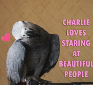 blessedimagesblog:  Blessed_Birb: CHARLIE  LOVES  STARING  AT  BEAUTIFUL  PEOPLE blessedimagesblog:  Blessed_Birb