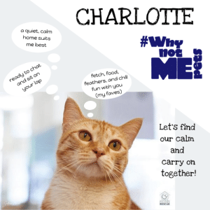 Hey there peeps- I'm Charlotte, a fun ginger girl who loves to play a good game of fetch, enjoys meowningful conversations as I sit on your lap for pets, and I am quite the foodie (tuna juice, wet food, and delicious kibble are my jam)! I'm also a social butterfly and want to be wherever you are! Let me tell you how great it would be to find my purrfect home with someone who truly appreciates all that I have to offer and gets 'it'. What is 'it' you ask? Well, I startle easily with loud noises and a lot of activity going on isn't for me, so I need someone who understands that a quieter, calm environment is best and can help me navigate any of the tough moments if I do get scared. I do have some meds to help with that, but know your love and patience will truly be the best medicine! So what do you think, shall we find our calm and carry on together? Find out more about me, Charlotte, at Seattle Area Feline Rescue! (And don't forget to tell all your friends too! Who can resist a pretty orange kitty? ) #WhynotCharlotte #adopt  #WhynotMEpets #Caturday Pet Connection Magazine Healthy Paws Pet Insurance: CHARLOTTE  a quiet, calm  home suits  me best  no  ME  ready to chat  fetch, food,  feathers, and chill  fun with you  (my faves)  and sit on  your lap  Let's find  our calm  and  carry on  together!  RESCUE Hey there peeps- I'm Charlotte, a fun ginger girl who loves to play a good game of fetch, enjoys meowningful conversations as I sit on your lap for pets, and I am quite the foodie (tuna juice, wet food, and delicious kibble are my jam)! I'm also a social butterfly and want to be wherever you are! Let me tell you how great it would be to find my purrfect home with someone who truly appreciates all that I have to offer and gets 'it'. What is 'it' you ask? Well, I startle easily with loud noises and a lot of activity going on isn't for me, so I need someone who understands that a quieter, calm environment is best and can help me navigate any of the tough moments if I do get scared. I do have some meds to help with that, but know your love and patience will truly be the best medicine! So what do you think, shall we find our calm and carry on together? Find out more about me, Charlotte, at Seattle Area Feline Rescue! (And don't forget to tell all your friends too! Who can resist a pretty orange kitty? ) #WhynotCharlotte #adopt  #WhynotMEpets #Caturday Pet Connection Magazine Healthy Paws Pet Insurance