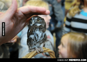 A full grown Pygmy owl.omg-humor.tumblr.com: CHECK OUT MEMEPIX.COM  MEMEPIX.COM A full grown Pygmy owl.omg-humor.tumblr.com