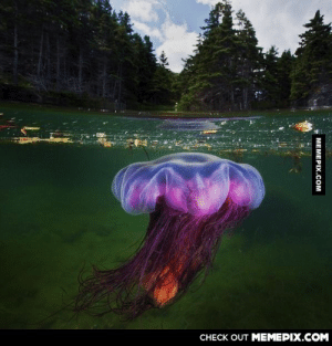 A Lion's mane jellyfish hunting in the cold northern waters of Newfoundland, Canada.omg-humor.tumblr.com: CHECK OUT MEMEPIX.COM  MEMEPIX.COM A Lion's mane jellyfish hunting in the cold northern waters of Newfoundland, Canada.omg-humor.tumblr.com