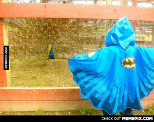 This kid wore his batman rain jacket to a local farm park. This peacock took it as a challenge.omg-humor.tumblr.com: CHECK OUT MEMEPIX.COM  MEMEPIX.COM This kid wore his batman rain jacket to a local farm park. This peacock took it as a challenge.omg-humor.tumblr.com