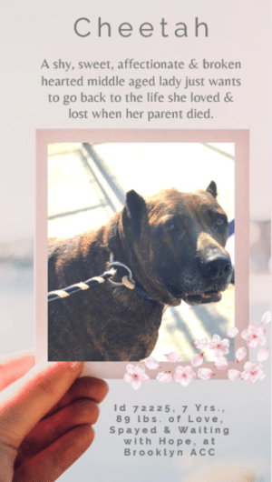 """Being Alone, Beautiful, and Bones: Cheetah  A shy, sweet, affectionate & broken  hearted middle aged lady just wants  to go back to the life she loved &  lost when her parent died.  Id 72225, 7 Yrs.,  8 9 Lbs. of Love,  Spayed & Waiting  with Hope, at  Brooklyn ACC TO BE KILLED – 8/24/2019  """"He was my North, my South, my East and West, my working week and my Sunday rest, my noon, my midnight, my talk, my song; I thought that love would last forever: I was wrong."""" -- W. H. Auden  Her owner died. It was that simple. And in that moment, she lost everything she had ever known, and everything she had loved and lived for. Affectionate, gentle, well behaved and sweet, this middle aged lady had known the joys of being loved, of being cherished, and of being an integral part of a family. When there were fireworks or other loud, scary noises, her parent would hold her close, cuddle her and whisper in her ear """"don't worry, honey, it will be alright"""" and calm her fears. When people would come to the home and she didn't know them, she might try to flee and hide, but after a bit, and when she got to know them, she welcomed them with open paws and would play exuberantly. She liked to show off her commands, she loved to play with ropes and bones, and she adored playing in her back yard. Life was beautiful. Life was sweet. But now her life will be over, just like that of her parent, if no one will take in Cheetah and give her back her smile. Yes, she is heartbroken, and yes she is sad and confused. But in the hands of an experienced foster or adopter who can give her a calm, quiet, structured adult only home, she will be the big, sweet, silly and loving dog she has always been. Won't you help her out? Please hurry and message our page or email us at MustLoveDogsNYC@gmail.com for assistance fostering or adopting beautiful, big hearted Cheetah.  CHEETAH, ID# 72225, 7 Yrs. old, 89 lbs., Spayed Female Brooklyn ACC, Large Mixed Breed, Brown Brindle Surrender Reason: Owner Died ☹  Shelter"""