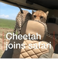 Animals, Memes, and Cheetah: Cheetah  oin  s safan Britton Hayes was on a safari with his step uncle in Tanzania when a curious cheetah decided to join them inside the vehicle. cheetah wildlife Tanzania animals safari bbcnews