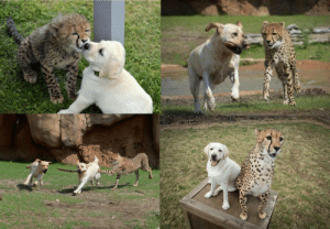 Animals, Dogs, and Them: Cheetahs are really nervous animals, and some zoos give them support dogs to relax