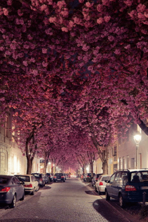 Cherry blossoms in Germany: Cherry blossoms in Germany